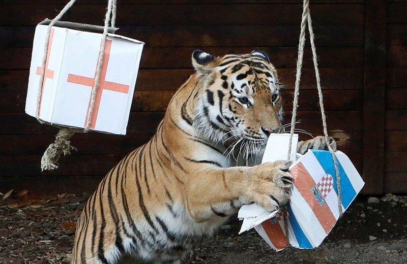 Бартек, пятилетний амурский тигр, выбирает Хорватию, пытаясь предсказать результат матча полуфинала чемпионата мира по футболу между Хорватией и Англией во время мероприятия в зоопарке Роев Ручей в Красноярске.