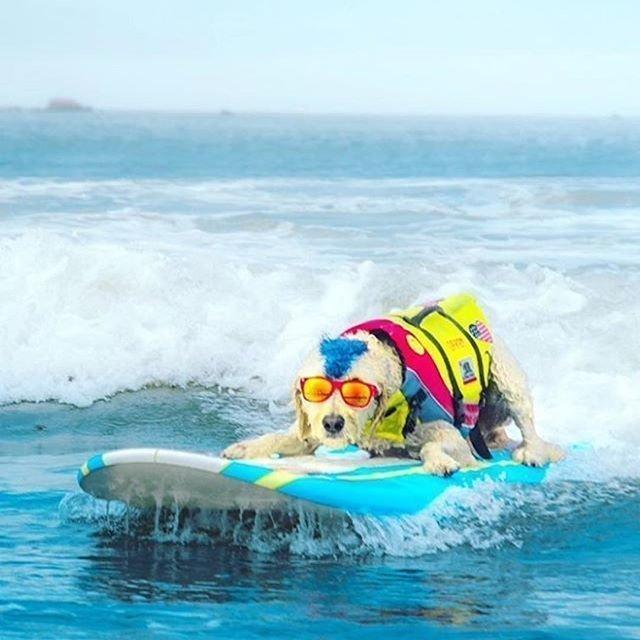 На берегу Калифорнии прошёл третий чемпионат мира по сёрфингу для собак. 45 четвероногих состязались друг с другом за золотые медали в шести номинациях. В первых трёх принимали участие большие, средние и маленькие питомцы.