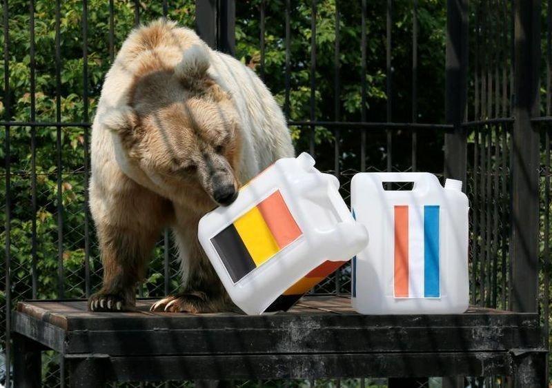 Памир, 11-летний Тяньшаньский медведь, выбирает Бельгию, пытаясь предсказать результат матча полуфинала чемпионата мира по футболу между Францией и Бельгией. животные, звери, матч, мундиаль, предсказание, спорт, футбол, чемпионат мира
