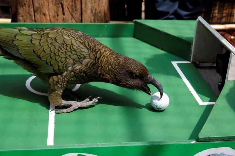Ньютон, попугай кеа, предсказал победу Франции в матче Кубка мира перед игрой Уругвай-Франция в Menagerie du Jardin des Plantes в Париже. животные, звери, матч, мундиаль, предсказание, спорт, футбол, чемпионат мира