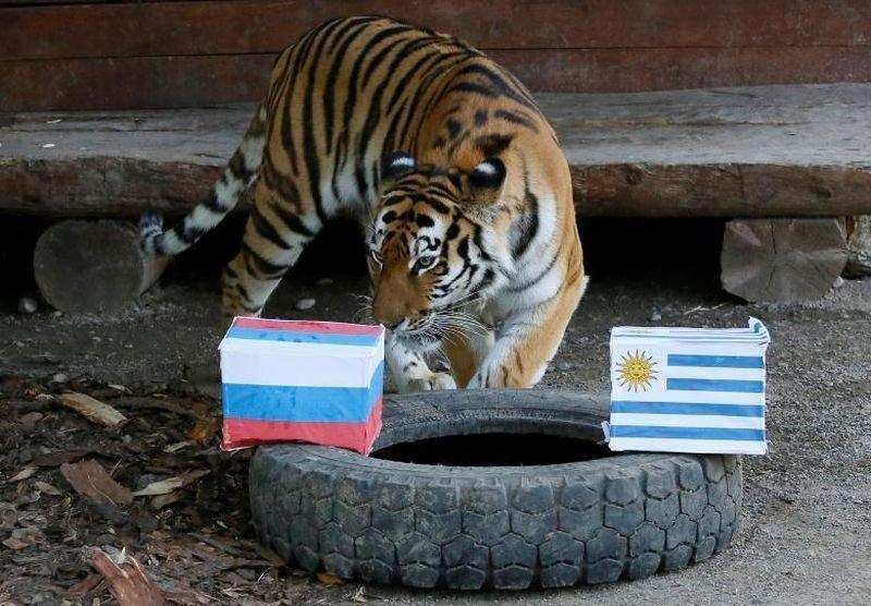 Юнона, шестилетняя амурская тигрица, пытается предсказать матч между Уругваем и Россией. животные, звери, матч, мундиаль, предсказание, спорт, футбол, чемпионат мира