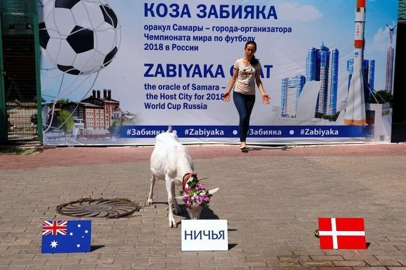 Коза по имени «Забияка» выбрал тарелку, где написана «Ничья» перед матчем между Данией и Австралией. животные, звери, матч, мундиаль, предсказание, спорт, футбол, чемпионат мира