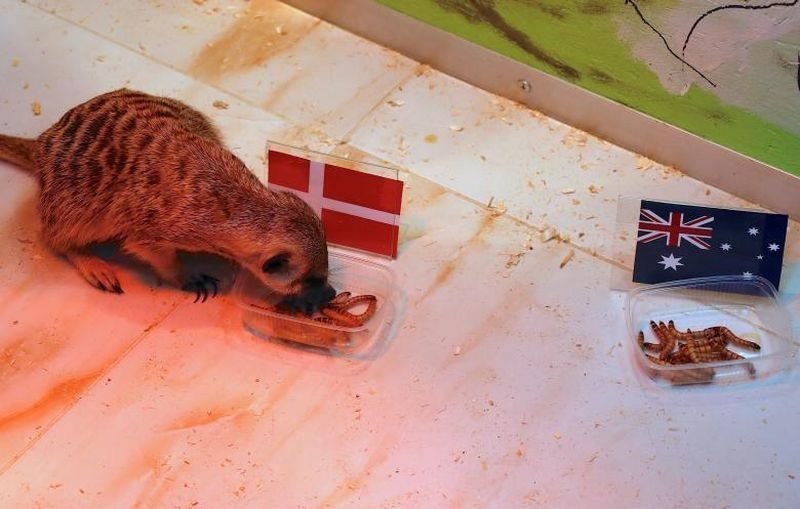 Сурикат по имени Тимон ест из контейнера с национальным флагом Дании перед матчем между Данией и Австралией. животные, звери, матч, мундиаль, предсказание, спорт, футбол, чемпионат мира
