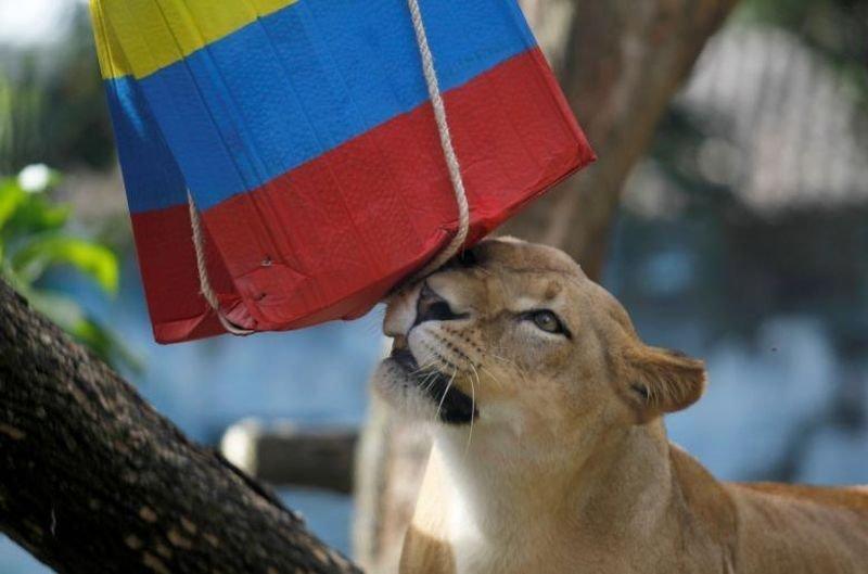 Львица Валентина прогнозирует результат матча между Колумбией и Японией. животные, звери, матч, мундиаль, предсказание, спорт, футбол, чемпионат мира