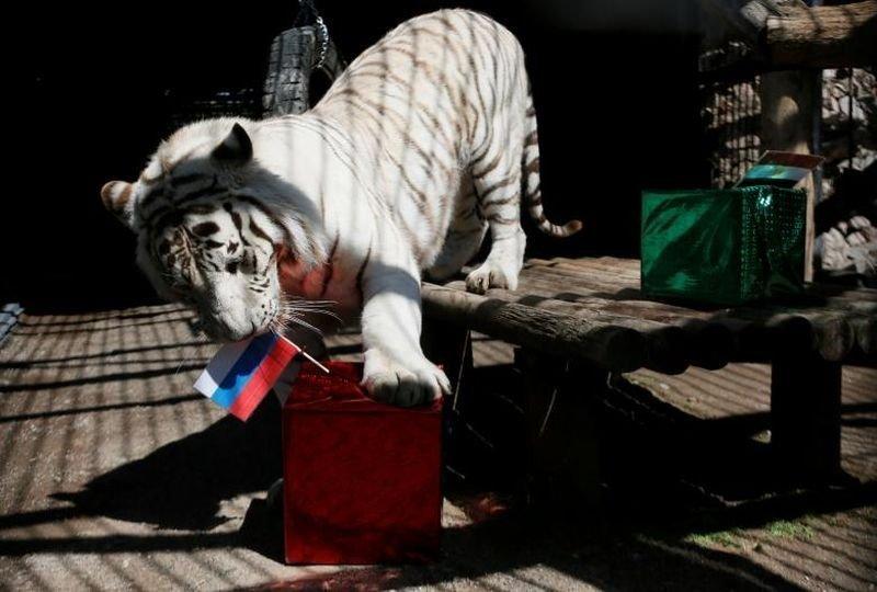 Хан, семилетний самец белого бенгальского тигра, предсказывает матч России и Египта. животные, звери, матч, мундиаль, предсказание, спорт, футбол, чемпионат мира