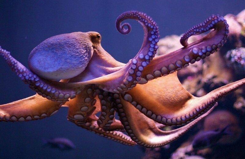 Борьба с осьминогом - зрелищный и жестокий вид спорта борьба, в мире, люди, осьминог, спорт