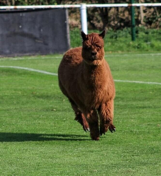 Альпака ворвалась на поле и сорвала футбольный матч
