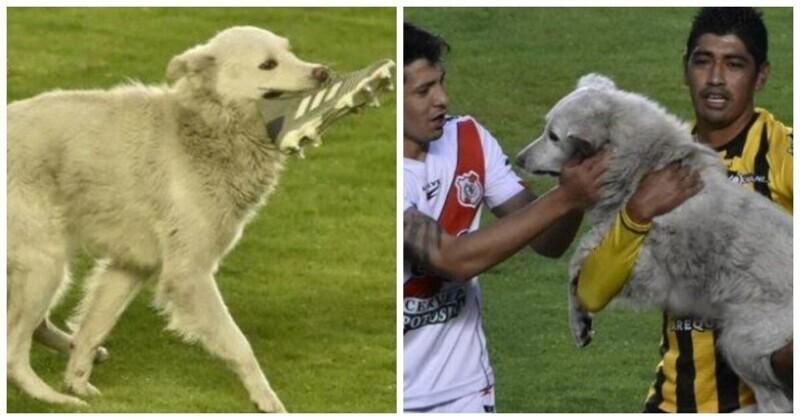 В Боливии собака выбежала на поле во время матча и украла бутсу
