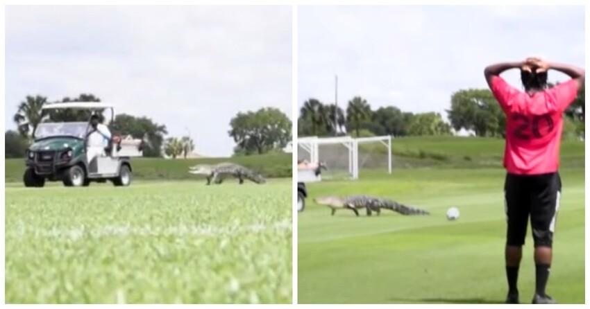 Тренировку канадских футболистов сорвал забежавший на поле аллигатор